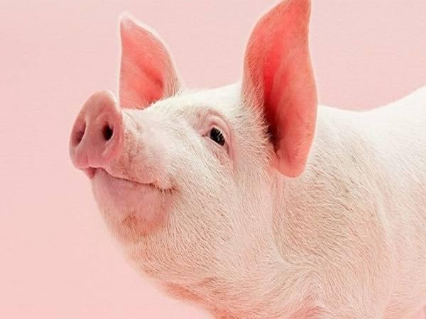 Mơ thấy lợn đánh con gì?
