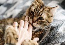 Bị mèo cắn có xui không?