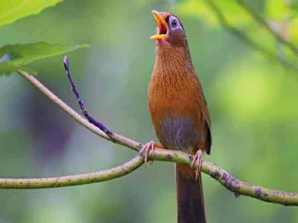 Chim khách kêu điềm gì?