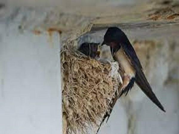 Chim làm tổ trong nhà điềm gì?