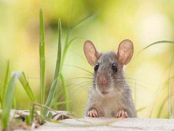 Chuột bò lên người điềm gì?