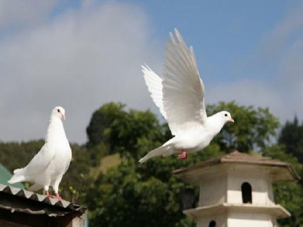 Chim bồ câu bay vào nhà có điềm báo gì? tốt hay xấu?